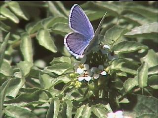 Melissa Blue ( Lycaeides melissa )